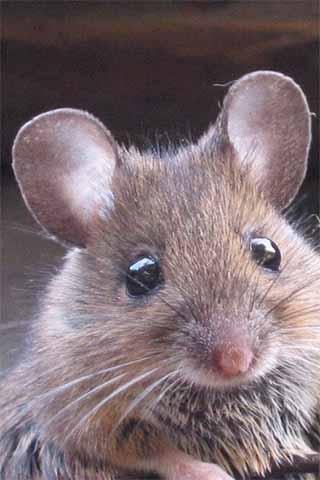 How To Draw Mouse Rat