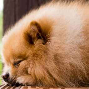 Sleeping Beauty by Daniel Sasse - Animals - Dogs Portraits ( macro, pet, dog portrait, sleeping, pomeranian, animal, sleep, rest, resting )