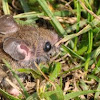 Field/Wood Mouse