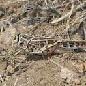 Red-shanked Grasshopper