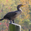 Double - crested Cormorant