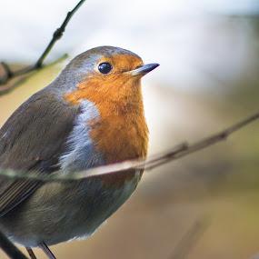 Robin redbreast by Brian Miller - Animals Birds ( canon, robin,  )