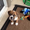 Olde English Bulldog