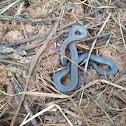 Northern ring-neck snake