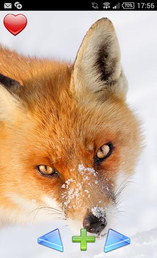 福克斯 - 女王的冬天。