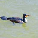 Japanese cormorant