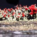 British Soldiers Lichen