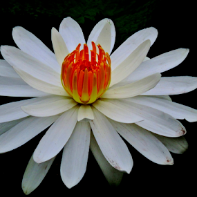 White waterlily by Yusop Sulaiman - Flowers Single Flower (  )