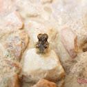 Adult Lace Bug