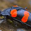 Fungus Pleasing Beetle