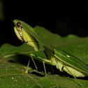 Leafy Praying Mantis