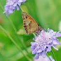 Meadow brown - Myrtil