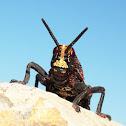 Koppie Foam Grasshopper (Immature)