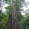 Californian Redwood