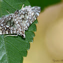 Glassy-winged Snout Moth