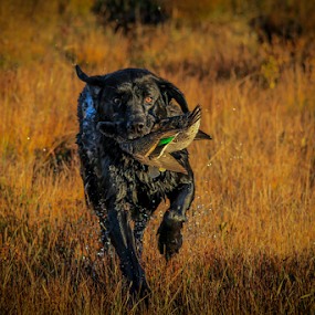 Molly at Work by Eugene Ball - Animals - Dogs Running ( canine, labrador, dog, lab, running,  )