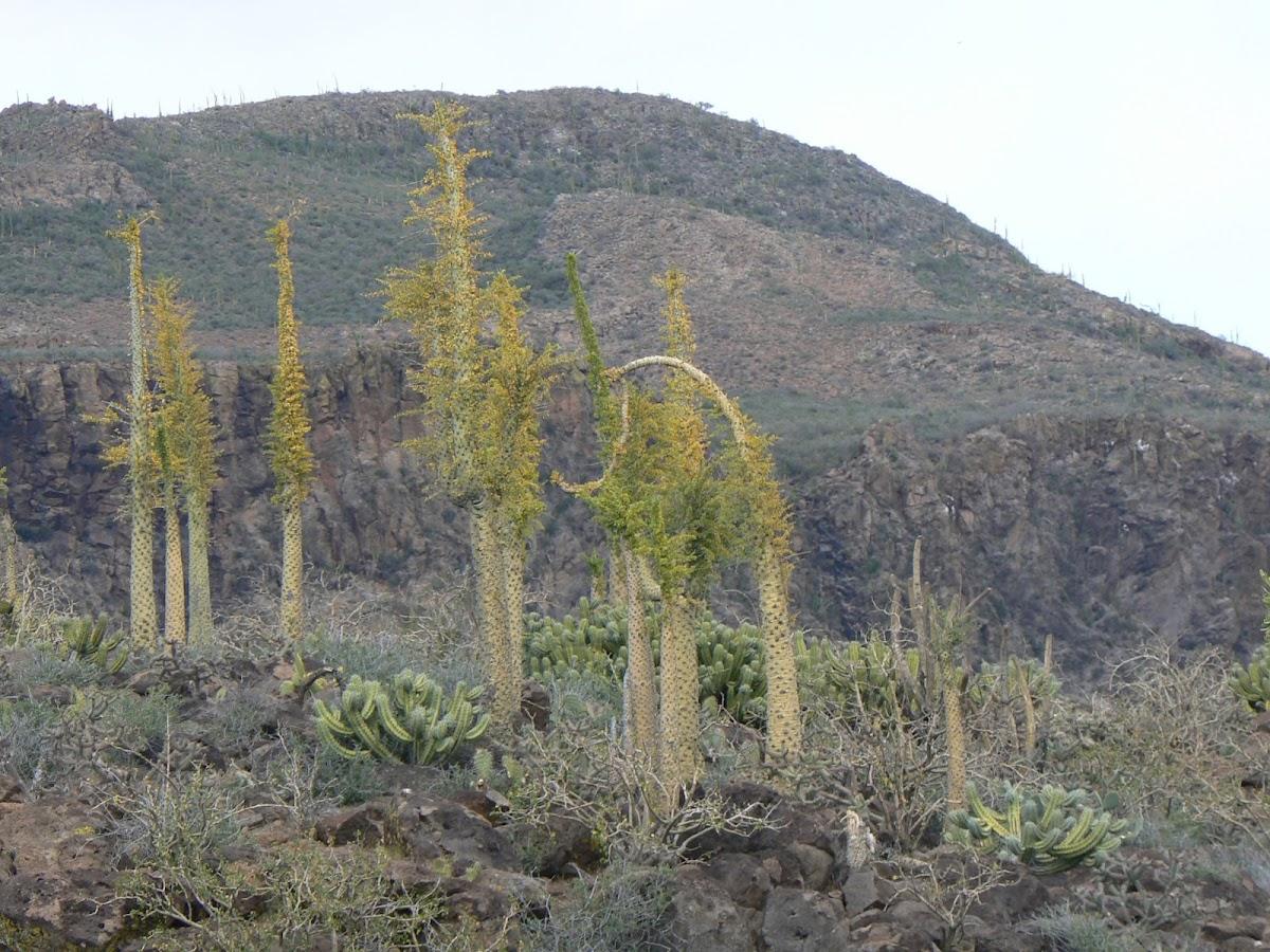 Boojum tree or (Spanish) cirio