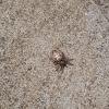 Triangulate cobweb spider