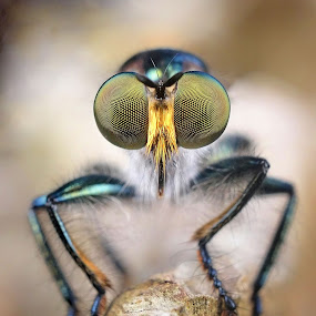 Robberfly by Herman  Noh ( Kajong ) - Animals Insects & Spiders