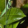 Giant African Praying Mantis