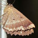 Brown Evening Moth