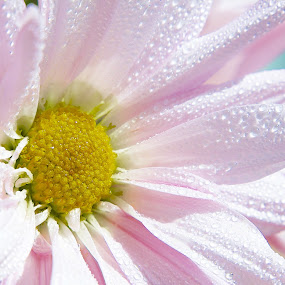 Early morning by Yu Tsumura - Flowers Single Flower ( water drops, single, white, pink, yellow, morning, flower,  )