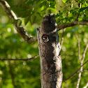 Downy Woodpecker (video of chicks)