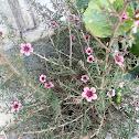 Pink Manuka (Λεπτόσπερμο)