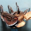 Saddleback Caterpillar Moths mating