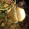 Balloon plant. Globos
