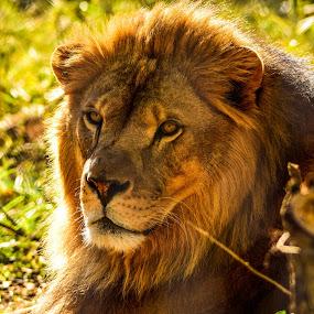 by Jon Kowal - Animals Lions, Tigers & Big Cats