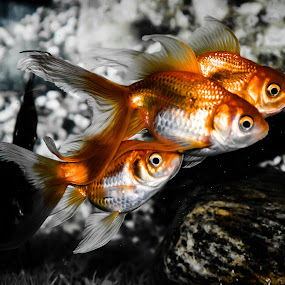 """""""Everything that glitters more than gold is not gold.""""  ― Raheel Farooq  by Manoj Swaminathan - Animals Fish ( fish, gold, gold fish )"""