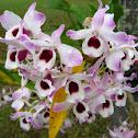 Dendrobium, Orquídea Olho-de-Boneca