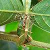 Assassin bug nursing nymphs