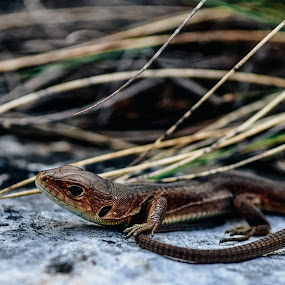 Little Dragon by Zec Mladen - Animals Reptiles ( reptiles, lizard, nature, nature up close, reptile )