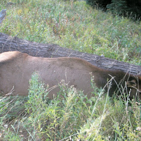 Our first Elk by Shawna Morley - Animals Other