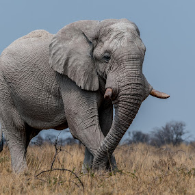 Elephant Stance by Johan Jooste Snr - Animals Other Mammals ( etosha, elephant, mammal, namibia, animal )
