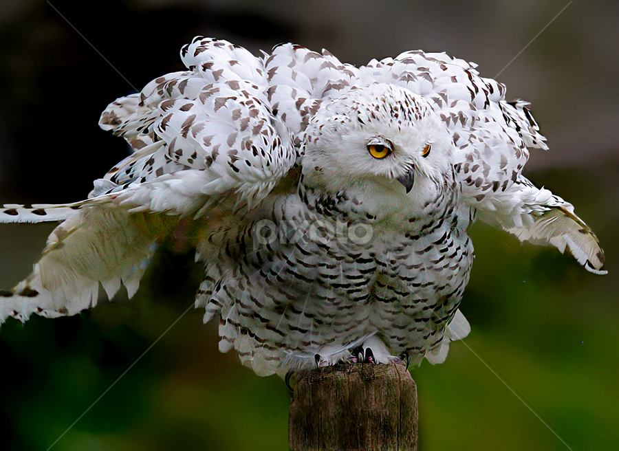 Shake a Tail Feather by John Larson - Animals Birds (  )