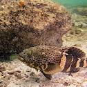 Eupaulet Grouper