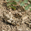 Blue Winged Grasshopper