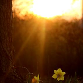 Heavenly Sunshine by Ruby Stephens - Flowers Flowers in the Wild ( orange, sunbeams, afternoon light, warm tones, daffodils, sunshine, yellow, backlighting, darker tones )