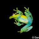 Polka-dot Treefrog