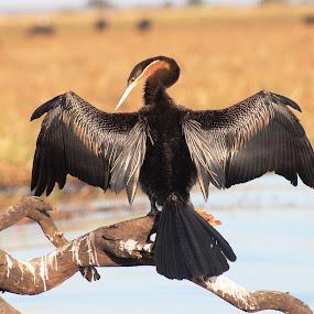 African Darter by Arun Prasanna - Animals Birds