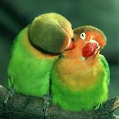 Попугаи Обои