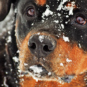 German Rottweiler by Denise Johnson - Animals - Dogs Portraits ( animals, german rottweiler, dogs, pet, pets, dog, animal,  )