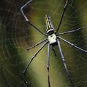 Golden Orb Web Spider / Giant Wood Spider