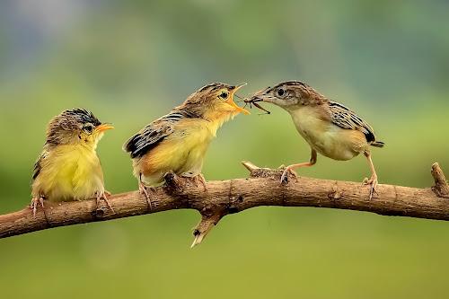 Three Birds by Husada Loy - Animals Birds (  )