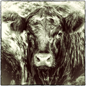 Friendly Cow by Mandy Jervis - Animals Other ( farm, milk, agriculture, bovine, cow, portrait, farming, mammal, animal )