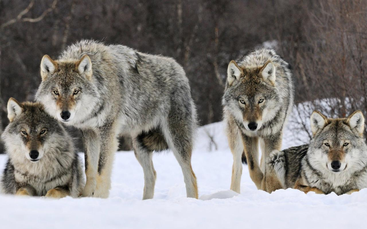 Wolf Jigsaw Puzzles- screenshot