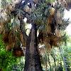 Yuca, palma china